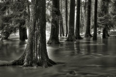 Flooded forest. With trees in the wind in winter Royalty Free Stock Photo