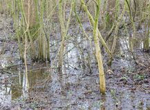Flooded forest area as a natural and recurring seasonal occurren. Ce - The Netherlands Stock Photo