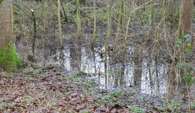 Flooded forest area as a natural and recurring seasonal occurren. Ce - The Netherlands Royalty Free Stock Photo