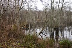 Swamp full with rotting trees. Flooded forest became dismal swamp. Lithuania stock images