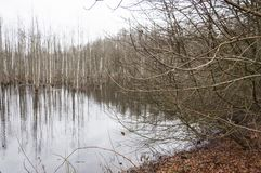 Swamp full with rotting trees. Flooded forest became dismal swamp. Lithuania royalty free stock photos