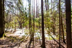 Flooded forest became swamp. Trees reflection in water royalty free stock photos