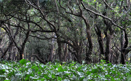 Flooded forest of mangrove trees Stock Images