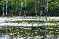 Flooded forest, Pantanal, Mato Grosso (Brazil) Royalty Free Stock Image