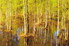Flooded Forest at Spring Stock Image