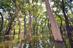 Flooded forest. Tone lesap  Siem Reap Cambodia ,December 11, 2012 Royalty Free Stock Photography