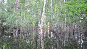 Flooded forest tree. Flooded birch tree trunks underwater and beautiful evening sunset reflections on water in forest stock video footage