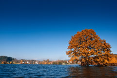 Flooded golden autumn countryside. In Slovenia. Yellow tree in water Stock Photography