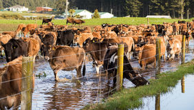 Flooded Heifers. Herd of jersey heifers in a flooded paddock stock photos