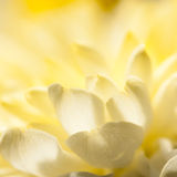 Flooded With Light. An abstract shot of the petals of a chrysanthemum bloom stock photos
