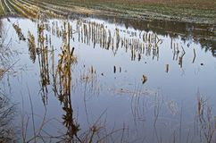 Flooded maize field Stock Images