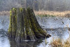 Flooded old tree stump Royalty Free Stock Photo