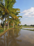 Flooded paddy field with palm trees Royalty Free Stock Image