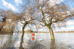 Flooded parkland. Swans and geese on flooded parkland near the Thames river in Windsor, UK Royalty Free Stock Photo