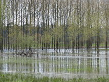 Flooded poplars, France. Stock Photos