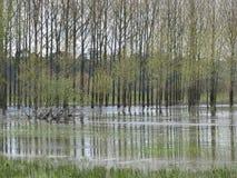Flooded poplars, France. A flooded poplar plantation south of Briollay, France Stock Photos
