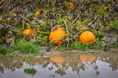 Flooded Pumpkin Patch Royalty Free Stock Photo