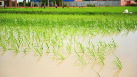 Flooded rice field in Cambodia Royalty Free Stock Images