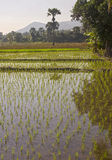 Flooded rice fields Royalty Free Stock Photo