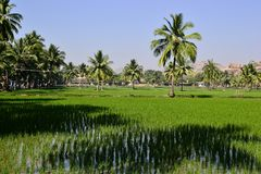 Flooded rice fields and palm trees. Tropical freshness landscape with green bright colors and clear blue sky. Hampi, Karnataka, India Royalty Free Stock Image