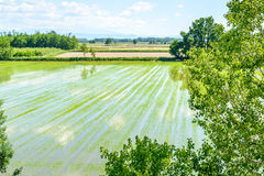 Flooded rice fields with plants (Italy) Royalty Free Stock Photo