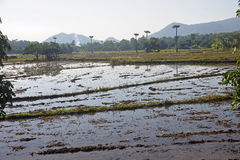 Flooded rice fields Stock Photos
