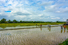 Flooded rice paddies in Thailand being prepared with a new crop of plants Royalty Free Stock Images