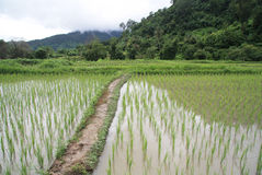 Flooded Rice paddy Stock Image