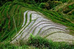 Flooded rice paddy fields Stock Photography