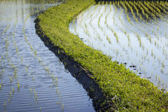 Flooded Rice Paddy Seedlings. Detail of rice seedlings growing in flooded paddy fields separated by a raised grassy bank Royalty Free Stock Photo