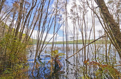 Flooded Shores on a Forested Lake Stock Image