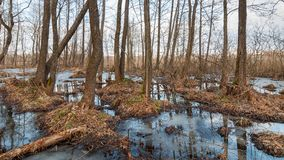 Flooded spring forest. Bare tree trunks in a flooded spring forest stock images