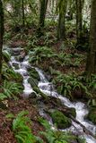 A flooded stream fast flowing over rocks and trees on a trial in woods just outside Portland, Oregon, USA on a long stock photos