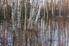 Flooded thicket at spring. Landscape Royalty Free Stock Photography