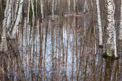Flooded thicket at spring. Landscape Stock Image