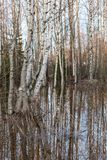Flooded thicket at spring. Landscape Royalty Free Stock Image