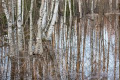 Flooded thicket at spring. Landscape Stock Images
