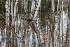 Flooded thicket at spring. Landscape Royalty Free Stock Photos