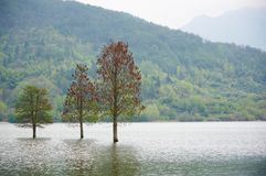 Flooded three lonely trees landscape at springtime. smooth water. Royalty Free Stock Photography