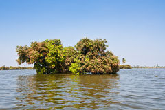 Flooded tree. Mango tree during the flood Royalty Free Stock Photography