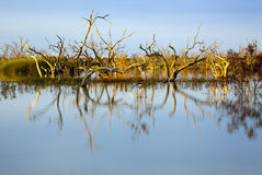 Flooded Trees At Sunset Royalty Free Stock Image