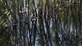 Flooded trees and circles on the water. And reflection of trees stock video