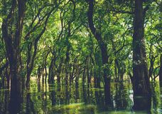 Flooded trees in mangrove rain forest. Kampong Phluk. Cambodia Royalty Free Stock Photography