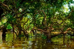 Flooded trees in mangrove rain forest. Kampong Phluk. Cambodia Royalty Free Stock Images