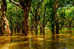 Flooded trees in mangrove rain forest. Kampong Phluk. Cambodia Stock Images