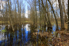 Flooded trees in spring fores Royalty Free Stock Images