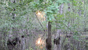 Flooded trees sun reflect. Fragment of flooded forest trees and evening sunset reflections on water stock footage