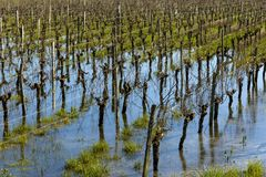 Flooded vineyard in Bordeaux Royalty Free Stock Images