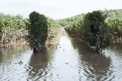 Flooded vineyards in the South of France. Flooded vineyards in Herault, South of France stock photography