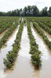 Flooded vineyards in the South of France. Flooded vineyards in Herault, South of France royalty free stock photo